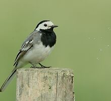Wagtail by Peter Wiggerman