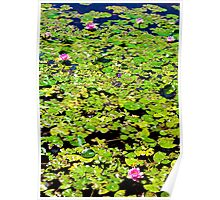 Water Lillies Pads and Pond Poster