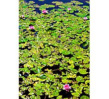 Water Lillies Pads and Pond Photographic Print