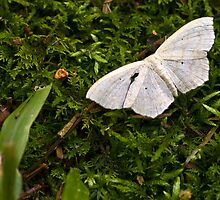Geometer Moth by Otto Danby II