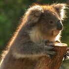 0252 Young Koala by DavidsArt