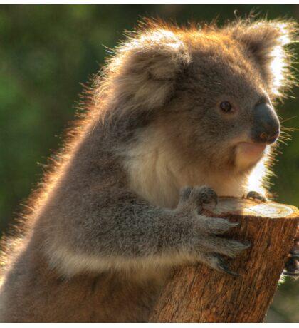 0252 Young Koala Sticker