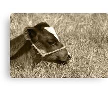 Calf With a Halter Canvas Print