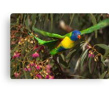 Rainbow Lorikeet lift off Canvas Print