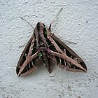 Sphinx Moth After Rain by May Lattanzio