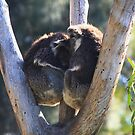 Day Dreaming  - Koalas - Melbourne Oz by john  Lenagan