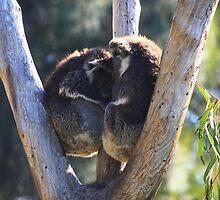 Day Dreaming  - Koalas - Melbourne Oz by john  Lenagan