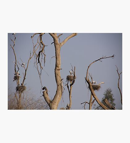 Storks mating Photographic Print
