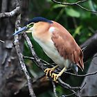Nankeen Night  Heron   -  Lake Eacham - Atherton TL  - FNQ by john  Lenagan