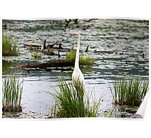 White Egret Standing Tall Poster