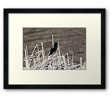 Red Winged Blackbird Perched on Marsh Grass Framed Print