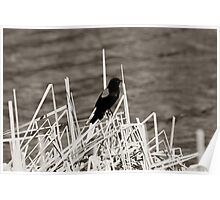 Red Winged Blackbird Perched on Marsh Grass Poster