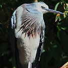 White Faced  Heron   -  Diamond Creek - Melbourne by john  Lenagan