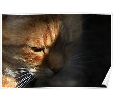 Close-up of ginger cat in shadow Poster