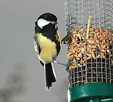 Great tit on bird feeder with grey sky by turniptowers