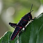 Eastern Lubber Grasshopper by Ostar-Digital
