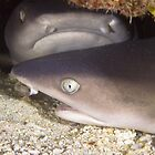 Reef Sharks - Biak, West Papua by Stephen Permezel