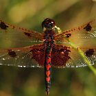 Calico Pennant #1  by Kane Slater