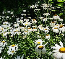 Summer Daisies by kgarlowpiper