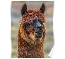Alpaca Close-up on Utah Farm Poster