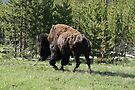 Bison by Tori Snow
