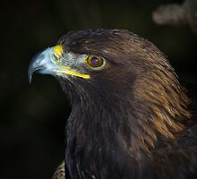 Golden Eagle, by RandyHume