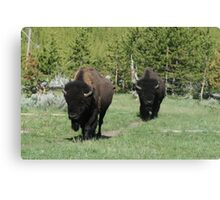 Two Bison Canvas Print