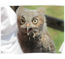 Baby screech owl Poster