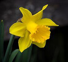 Daffodil by RandyHume