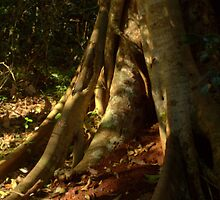 Strangler Fig by myraj