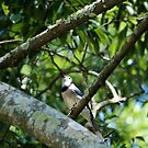 Blue Jay Looking Up by Cynthia48