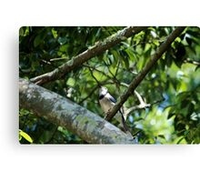 Blue Jay Looking Up Canvas Print