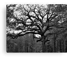 Grand Oak Canvas Print