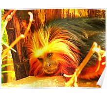 Golden-Headed Lion Tamarin Two Poster