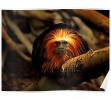 Golden-Headed Lion Tamarin Three Poster