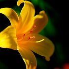 Yellow Lily by DJ Fortune