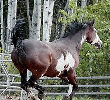Running Paint Horse for freedom. by Val  Brackenridge