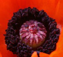 Poppy, Papaver Orientalis Sticker