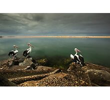 Australian pelicans sunbathing Photographic Print