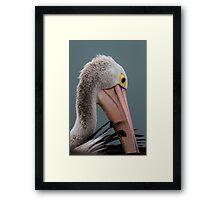 Australian pelican portrait Framed Print