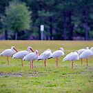 Ibises On The Ball Field by Cynthia48