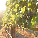 Early morning in the vineyard by LauraZim