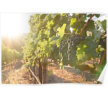 Early morning in the vineyard Poster