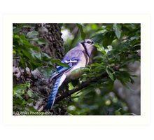 Blue Jay in a tree peeking from behind a leaf Art Print