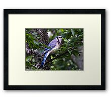 Blue Jay in a tree peeking from behind a leaf Framed Print