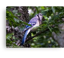 Blue Jay in a tree peeking from behind a leaf Canvas Print