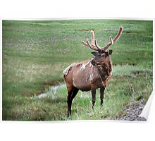 Bull Elk in Yellowstone Poster