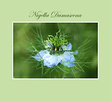 Nigella Damascena *2* by SmoothBreeze7