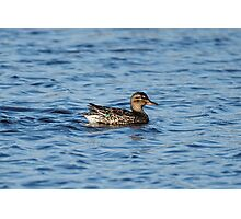 Green-Winged Teal Duck Photographic Print