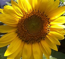 Sunflower by ammysclub